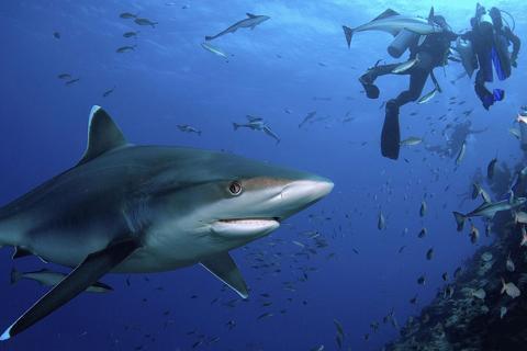 斐济6天*鲨鱼潜猎奇之旅*香港直航<要求OW证书>