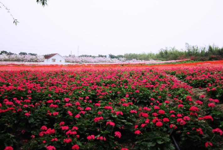 广州百万葵园