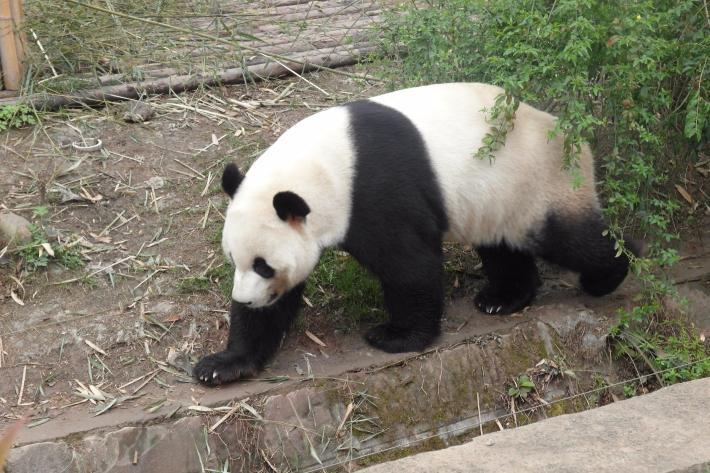 熊猫的研究基地