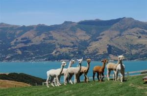 新西兰-【当地玩乐】新西兰基督城 阿卡罗阿莎玛拉羊驼(草泥马)农场门票(自驾前往).等待确认