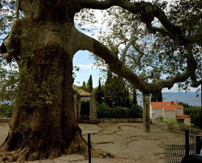 一株至少有数百年历史的古树