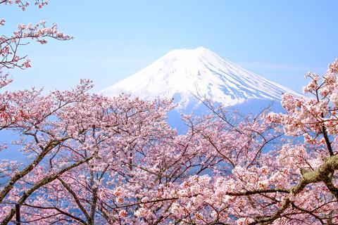 【颂·深度】日本本州6/7天*赏樱限定<奈良穿和服赏樱喂食萌鹿,限定花见料理,观富士山温泉酒店,一日自由活动可选环球影城>