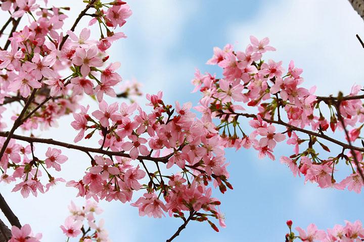 【花城看花】从化1天*天适樱花园赏花*品尝农家腊味竹筒饭*溪头村