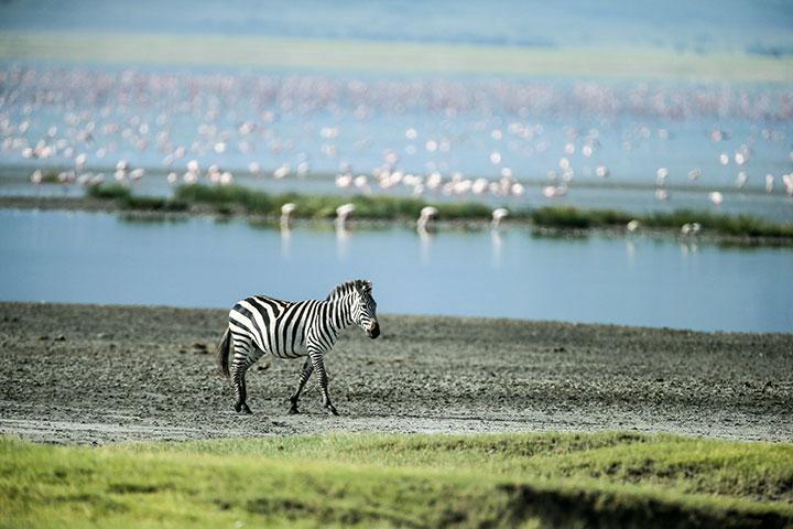 【典·猎奇】坦桑尼亚10天*游猎东非*广州往返<塞伦盖蒂动物追踪,恩戈罗火山口游猎,塔兰吉雷国家公园,纳特龙湖观鸟,曼雅拉湖升级超豪华酒店>