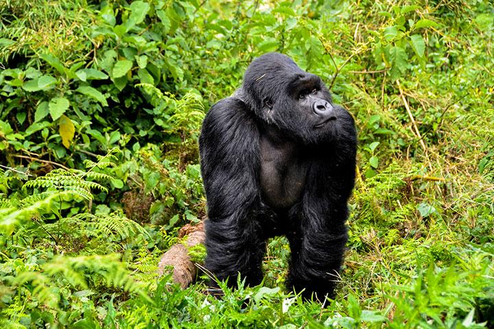 【尚·猎奇】乌干达、卢旺达11天*银背大猩猩追踪*广州往返<布温迪国家公园徒步,伊丽莎白女王国家公园动物追踪,船游卡琴扎运河,纽恩威国家公园吊桥体验>