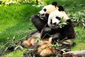 【四川车位+门票】成都1日熊猫基地+都江堰+川菜文化体验馆<礼遇都熊,赠送午餐>