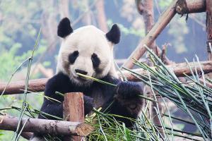 【成都當地玩樂】都江堰*熊貓基地1天游<禮遇都熊>